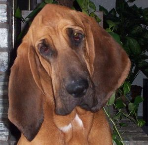 how to train a bloodhound to hunt